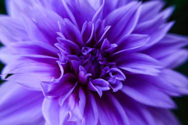 Purples by KrazyRatLady