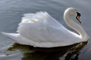 Ride a white swan by bullispace