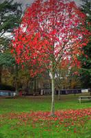 Red tree by bullispace