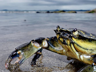 Crab @ Broadhaven by bullispace