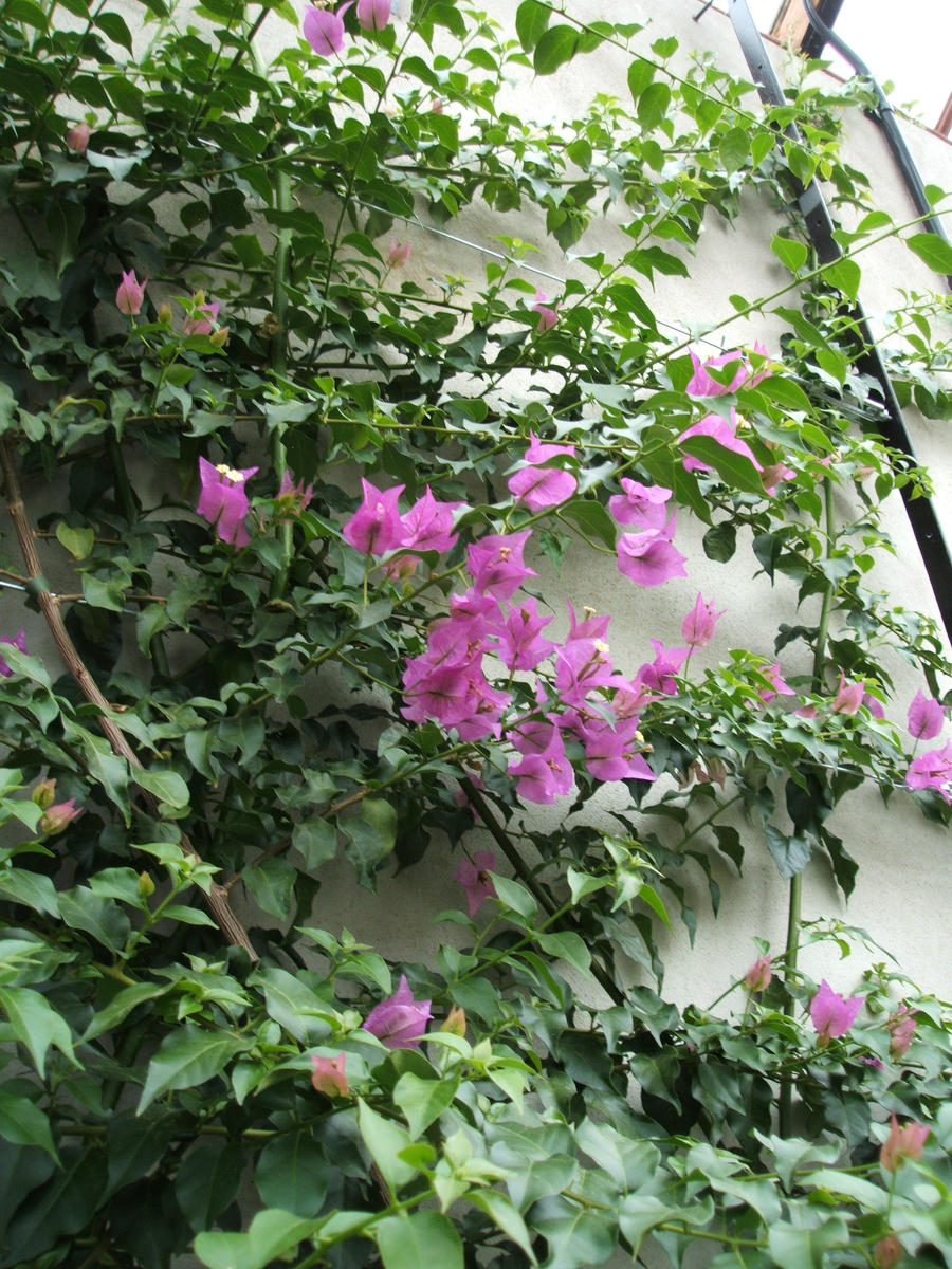 Climbing Plant With Pink Flowers Images Flower Decoration Ideas