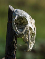 Stock: The Skull 2 (Rabbit) by M-M-F