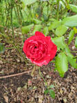 Rose so red