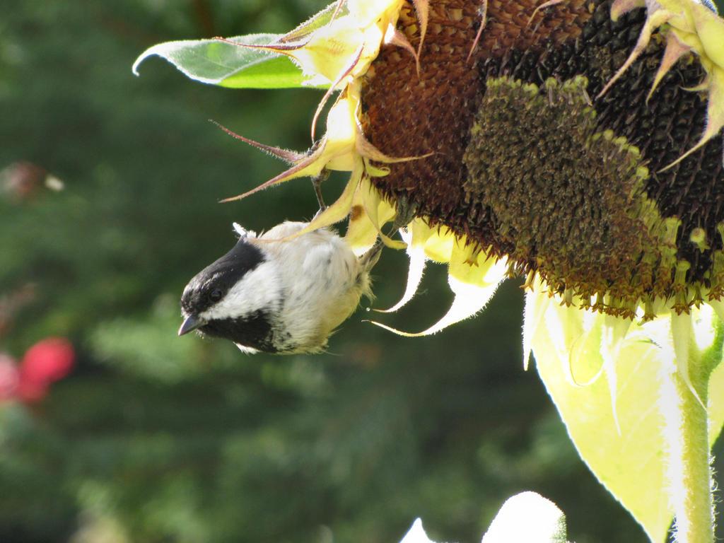 Bird and Sunflower 2 by Katjakay