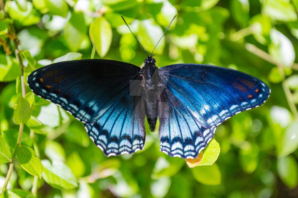 Blue Butterfly by suztv