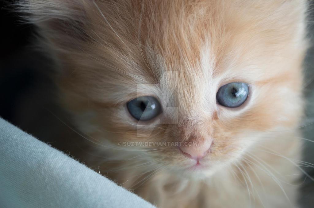 Orange Kitten Close Up by suztv