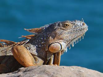 Iguana by rwetzel
