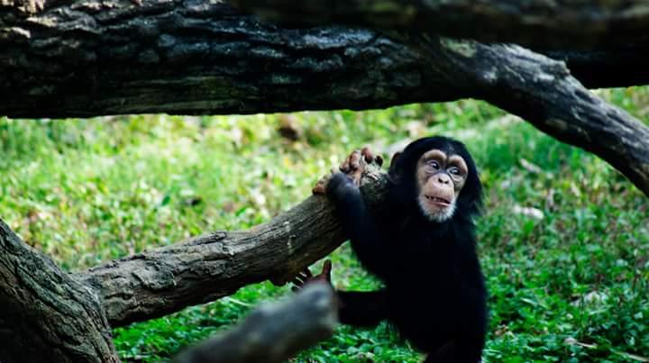 Chimp Innocense by MoonGazer9