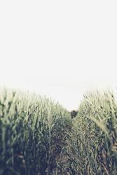 corn lines by biq
