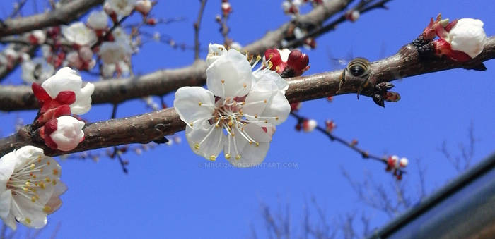 Bee, apricot flowers