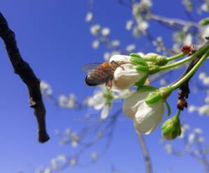 Bee on plum tree flowers