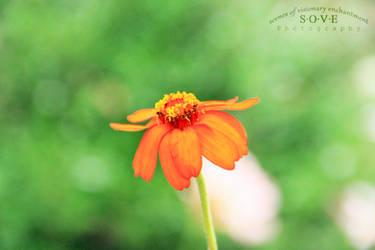 Zinnia by SOVEPhotography