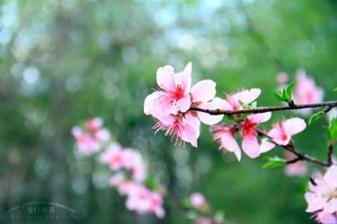 Peach Tree by SOVEPhotography