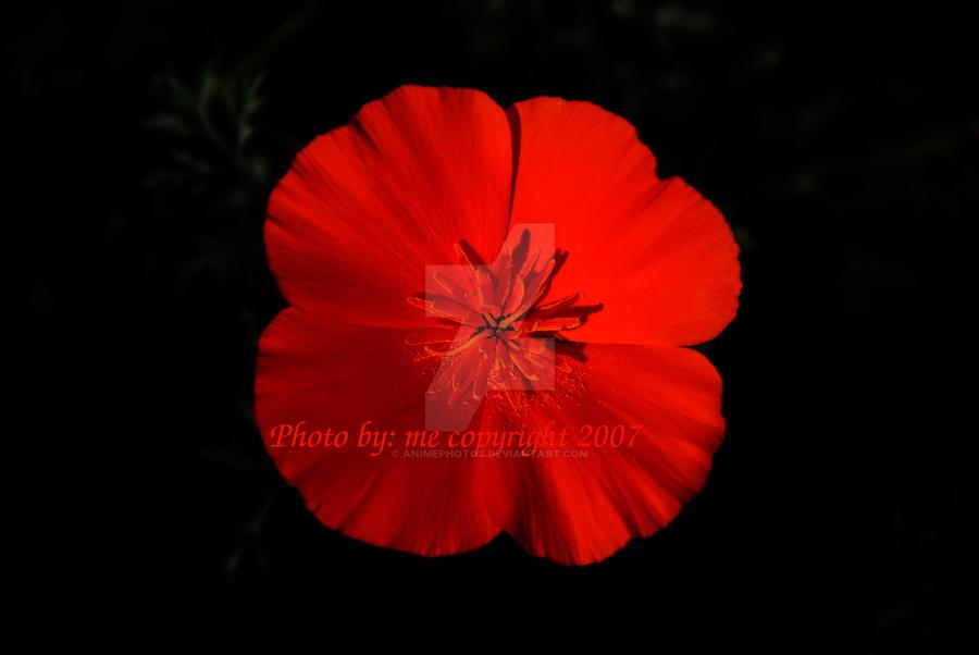 California poppy state flower by animephotos on deviantart california poppy state flower by animephotos mightylinksfo