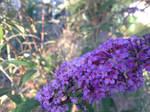 purple Buddleia davidii