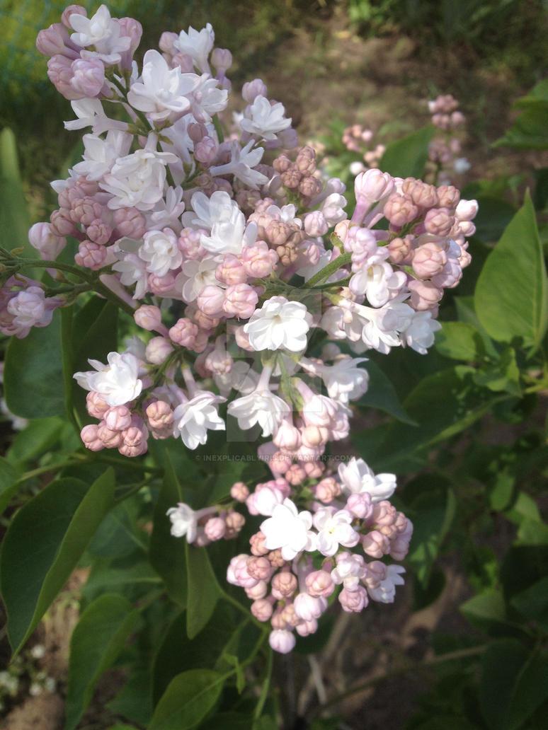 lilac by InexplicablyIris