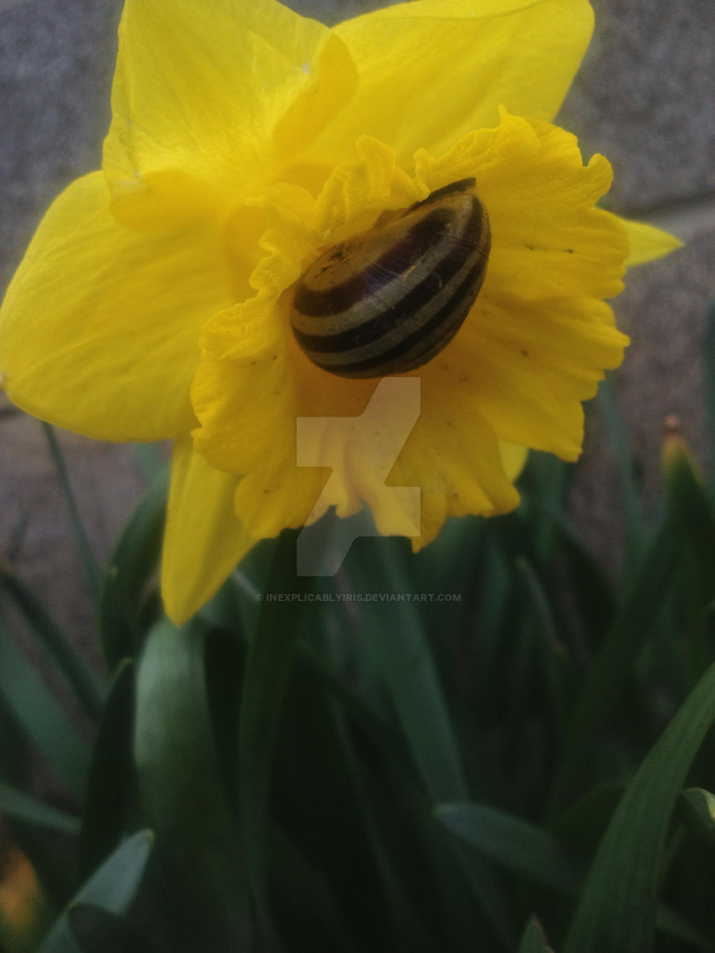 Daffodilling snail vers 3 by InexplicablyIris