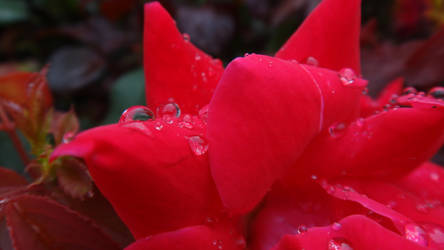 Droplets on a Rose by AnonymousRabbitLover