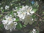 Apple Blossom 2013 vol.9 by ladylerika