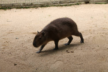 Capybara Sleuth