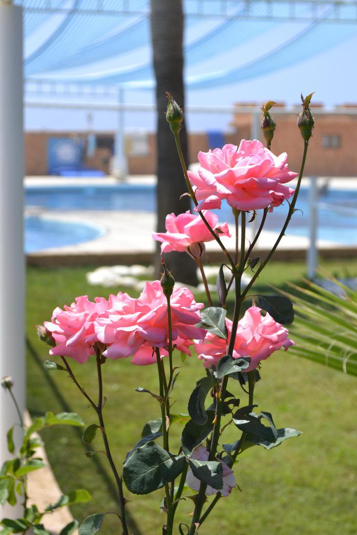 pink roses by dudeckaya