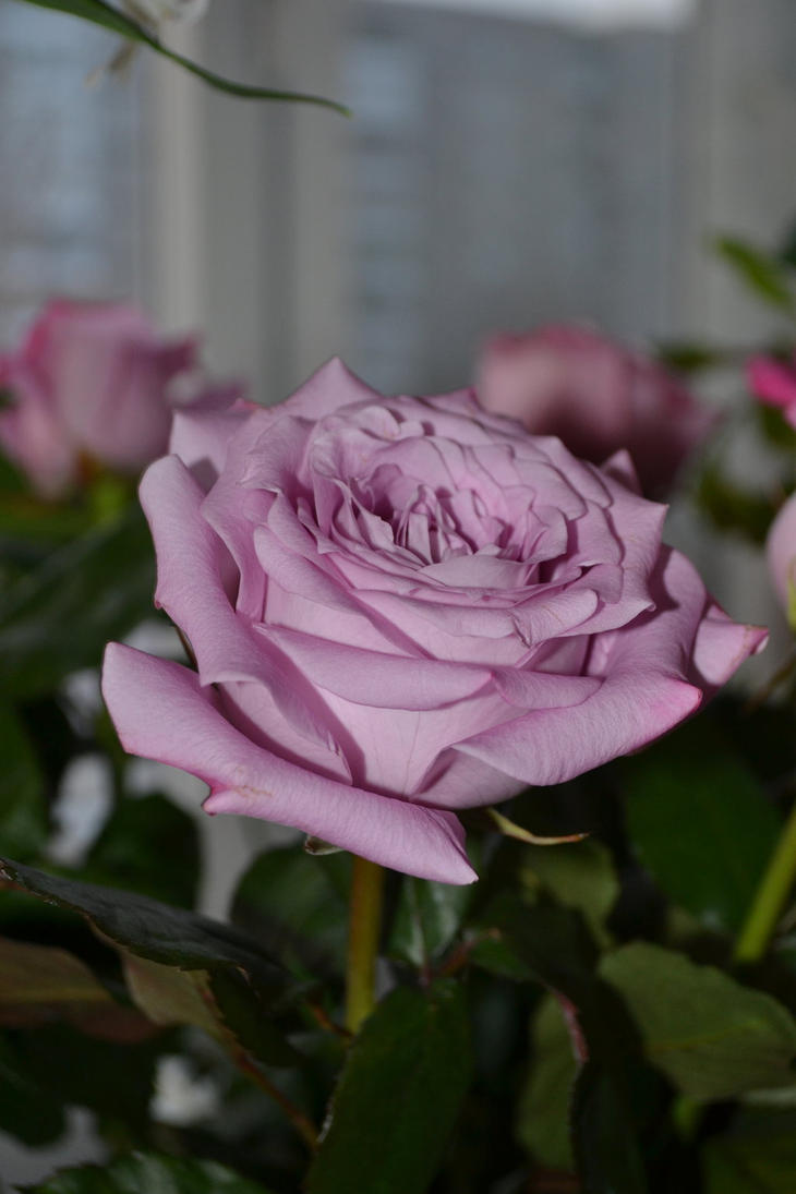 rose by dudeckaya