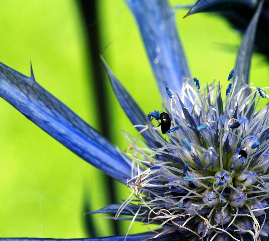 Beetles Flower Small by Hongkongcavalierdave