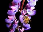 Bee on lupin