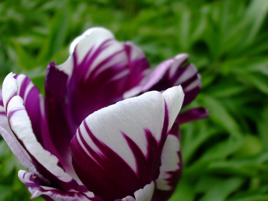 Marble Tulip by divinekatt