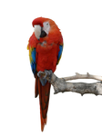 Parrot Stock PNG