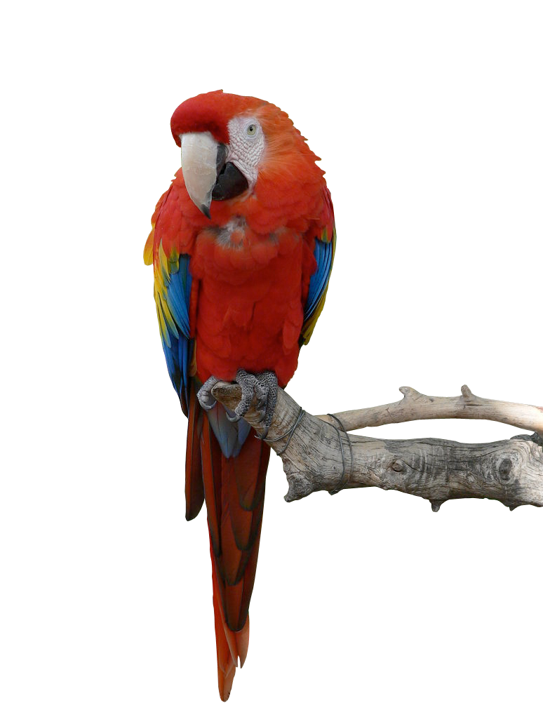 Parrot Stock PNG by Iciness on DeviantArt