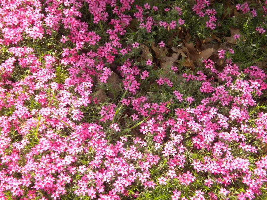 Tiny pink flowers by animepunk on deviantart tiny pink flowers by animepunk mightylinksfo