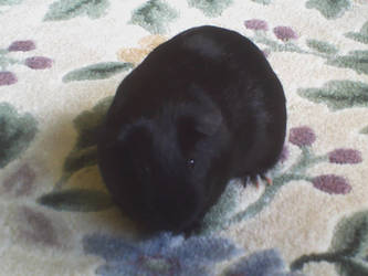 Eclipse my guinea pig by StarryNights729