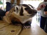 Hello, Mr. Badger