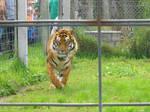 Running Tiger Stock
