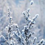 Snow Bloom by Korpinkynsi
