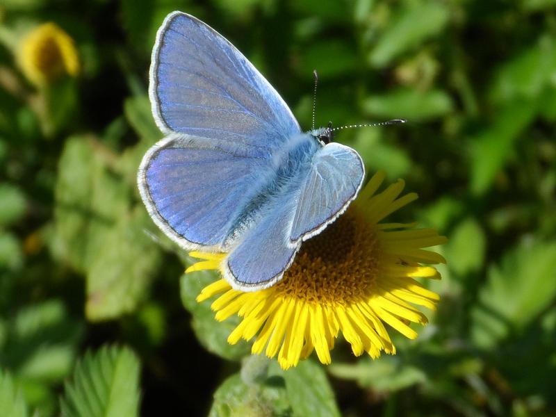 Mr blue showing his beauty by Stilleschrei