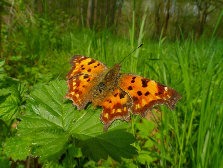 Comma on a leaf by Stilleschrei