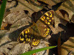 The speckled wood butterfly