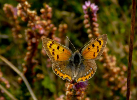 Veur Anske, the Small Copper