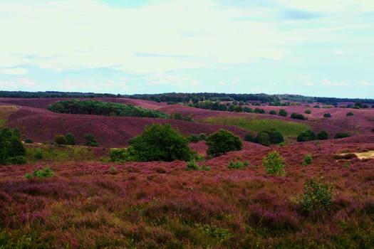Aww ye beautiful heath