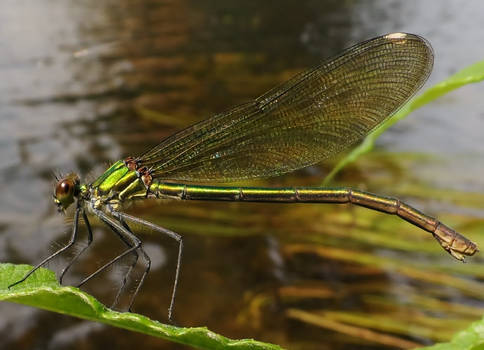 Miss Green Banded Demoiselle