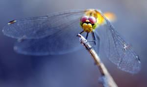 Dragonfly XX