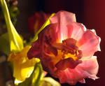 Tulip2011-3