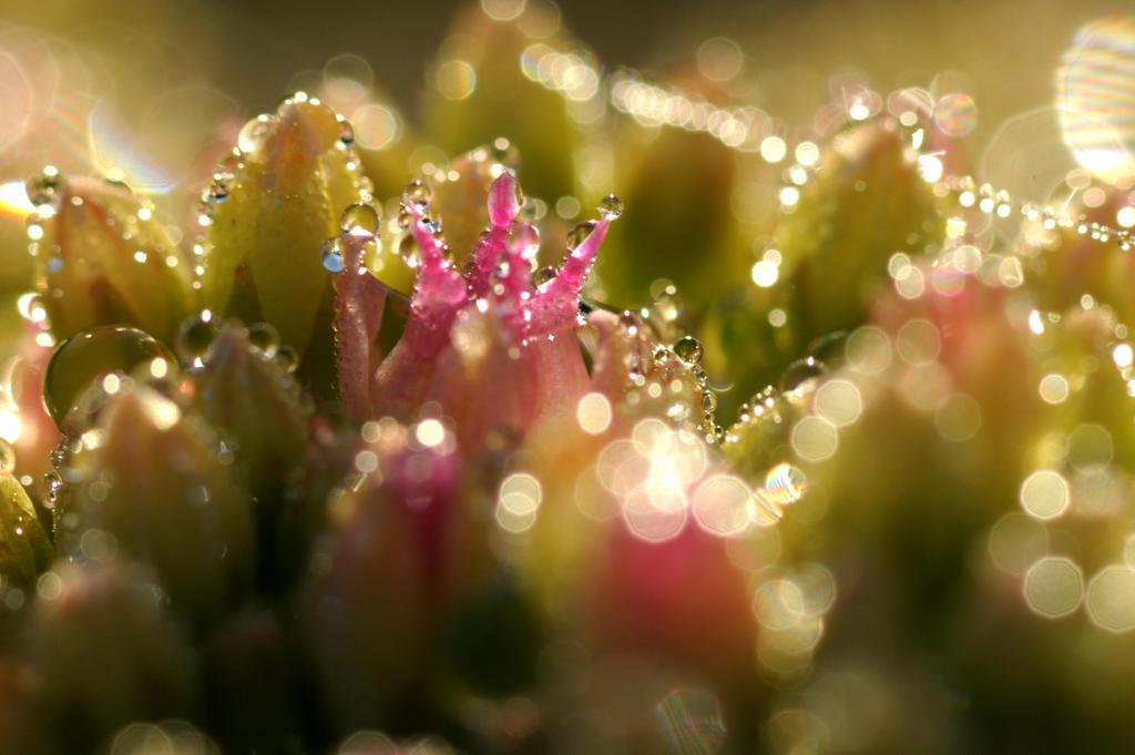 Morning dew again