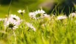 Sweet summer daisies