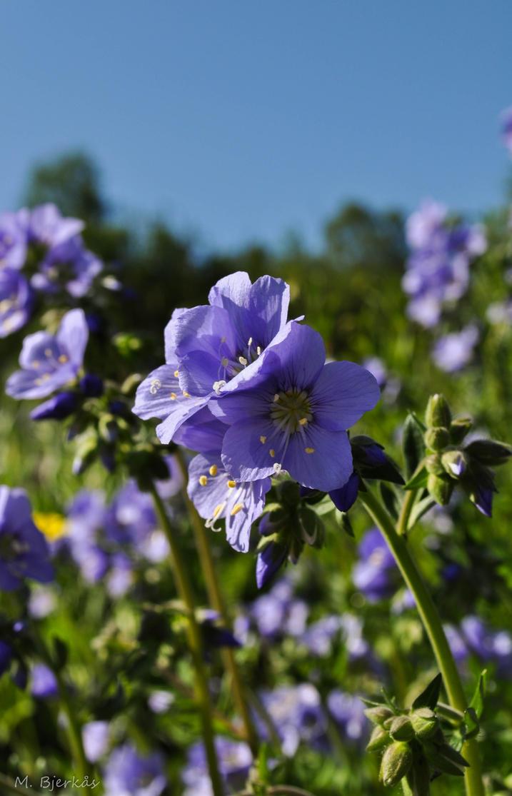 Field of blue by maritacatrine