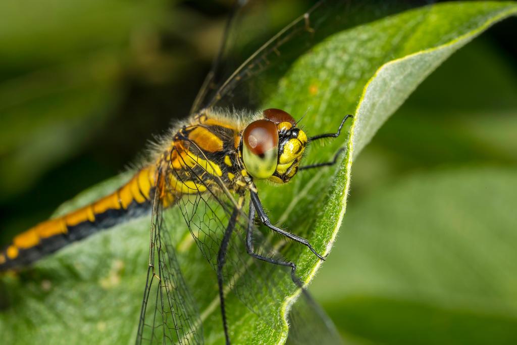 IMAGE: http://img12.deviantart.net/6088/i/2015/228/3/b/dragonfly_by_kuvailija-d95vsvo.jpg