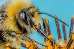 Bumblebee V