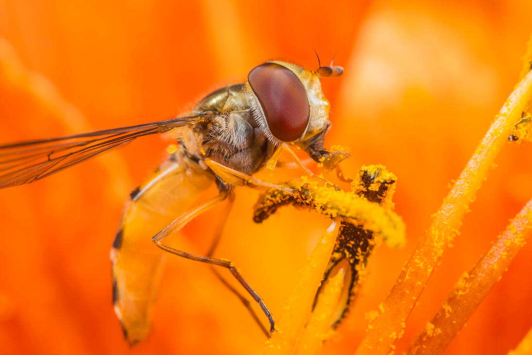 A hoverfly by Kuvailija